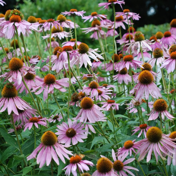 ConeFlower_purple