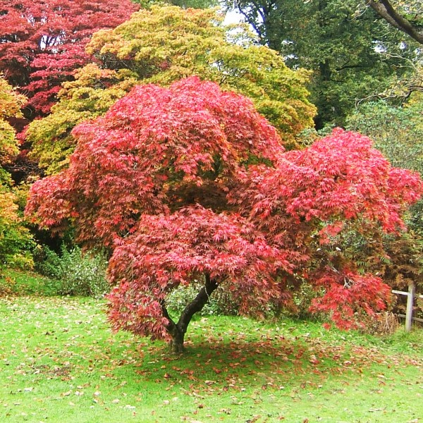 JapaneseMaple4