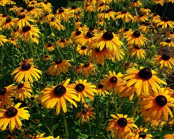 black-eyed-susan-2