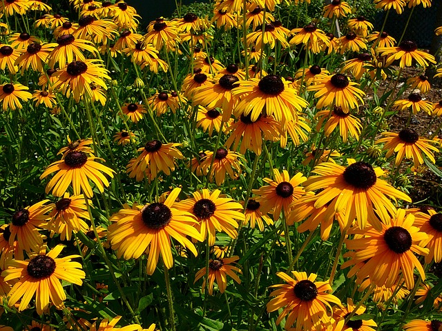 Black eyed susan northwest lawn and landscape toledo ohio Black eyed susans